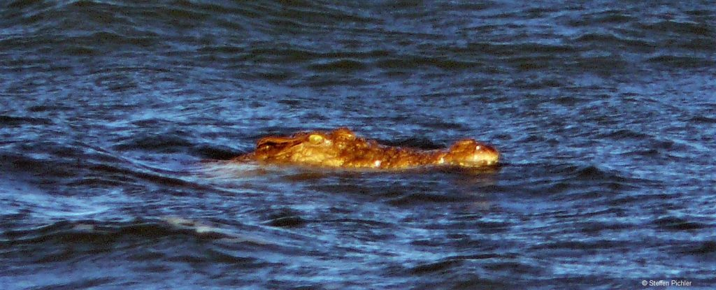 Saltwater crocodile watching out of the dark ocean surface, the head lightend by setting sun.