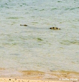 A Saltwater crocodile surfaced in front of the beach, tail and head streched out of the water, obviousely to present it's body size.